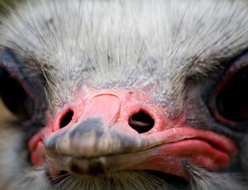 Ostrich – Schotia Safaris